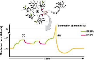 Depolarization - Summation of stimuli at an axon hillock