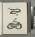 18. The Copper-head (Trigonocephalus contortrix). 19. The Northern Rattlesnake (Crotalus durissus) (NYPL b14505696-113694).tiff