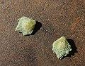 1 Atriplex muelleri unripe fruit.jpg