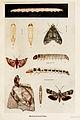 20-Indian-Insect-Life - Harold Maxwell-Lefroy - Microlepidoptera.jpg