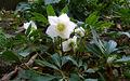 2006-12-18Helleborus niger03.jpg