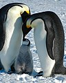 2007 Snow-Hill-Island Luyten-De-Hauwere-Emperor-Penguin-110.jpg