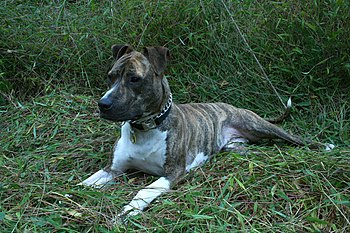English: A female brindle American Pit Bull Te...