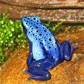 2009-03-29Dendrobates tinctorius azureus108.jpg