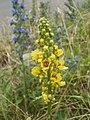 20120619Verbascum nigrum2.jpg