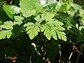 20120701Chaerophyllum temulum6.jpg