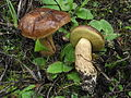 2013-12-19 Leccinum corsicum (Rolland) Singer 399423.jpg