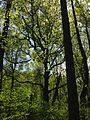 2014-05-11 11 43 18 View of a large Tulip Tree in the forest along the Bridges Trail in Clayton Park, Upper Freehold Township, New Jersey.JPG