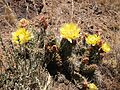 2014-06-28 12 22 55 Prickly pear cactus with yellow blossoms on the slopes of East Twin in the Adobe Range near Elko, Nevada.JPG