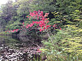2014-08-28 11 05 55 Early fall color on a Red Maple along the south shore of the cove of Spring Lake in Berlin, New York.JPG