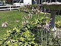 2015-07-20 12 20 20 Hosta flowers along Terrace Boulevard in Ewing, New Jersey.jpg