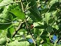 20160718Morus nigra3.jpg