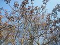 20170123Ailanthus altissima1.jpg