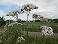 20180617Valeriana officinalis3.jpg