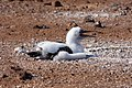 20180805-Blue-footed booby (juvenile) at Seymour Norte-2 (9246).jpg