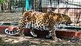 2018 04 ZooEberswalde Chinaleopard IMG 1225.JPG