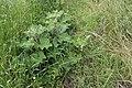 2020-06 Góra Gipsowa (19) Łopian pajęczynowaty.jpg