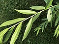 2020-07-04 16 46 26 Leaves in mid-summer on a Weeping Willow along Tranquility Court in the Franklin Farm section of Oak Hill, Fairfax County, Virginia.jpg