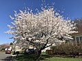 2021-03-30 10 46 08 A cherry blooming along Huntsfield Court in the Franklin Farm section of Oak Hill, Fairfax County, Virginia.jpg