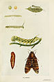 27-Indian-Insect-Life - Harold Maxwell-Lefroy - Acherontia-styx.jpg