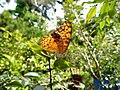 296紅擬豹斑蝶2(王娟雀攝) (18856928408).jpg