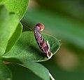 37.044 BF547 Coleophora discordella, larval case on Bird's-foot Trefoil (5592563140).jpg