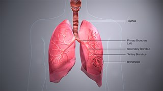 Bronchus Airway in the respiratory tract