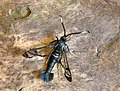 52.006 BF375 White-barred Clearwing, Synanthedon spheciformis (3580551373).jpg
