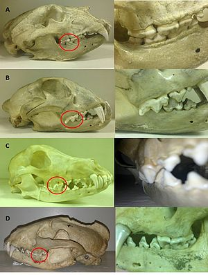 Carnassial - Image: ABCD Carnassial teeth