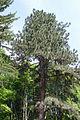 AB ND2 Pinus ponderosa.jpg