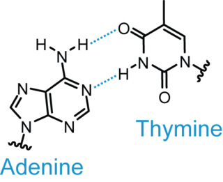 Base pair unit consisting of two nucleobases bound to each other by hydrogen bonds: either adenine–thymine or guanine–cytosine in natural DNA (additional types occur in RNA)