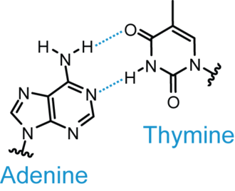 Base pair - Depiction of the adenine-thymine Watson-Crick base pair.
