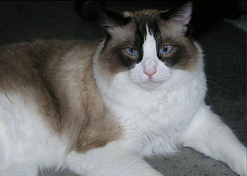 This is a real seal point ragdoll cat.