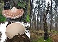 A giant (346 mm) Piptoporus betulinus (Birch Polypore or Razorstrop Fungus or Birch Bracket, D= Birchenporling, F= Polypore du bouleau, NL= Berkenzwam), white spores, causes brownrot, at a birchtree with lots of Fomes - panoramio.jpg