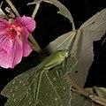 A katydid and a flower (38258543802).jpg