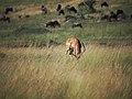 A loner Impala @ Masai Mara (21562833160).jpg