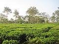 A tea estate in Dibrugarh district, Assam.jpg