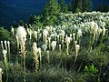 A wealth of bear grass! (15369865746).jpg