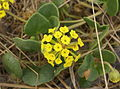 Abronia latifolia habit (Yarnell).JPG