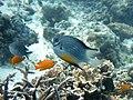 Abudefduf Fish.jpg