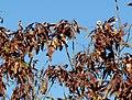 Acacia ataxacantha, peule, Little Eden, a.jpg