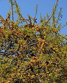 Acacia Caven Wikipedia La Enciclopedia Libre