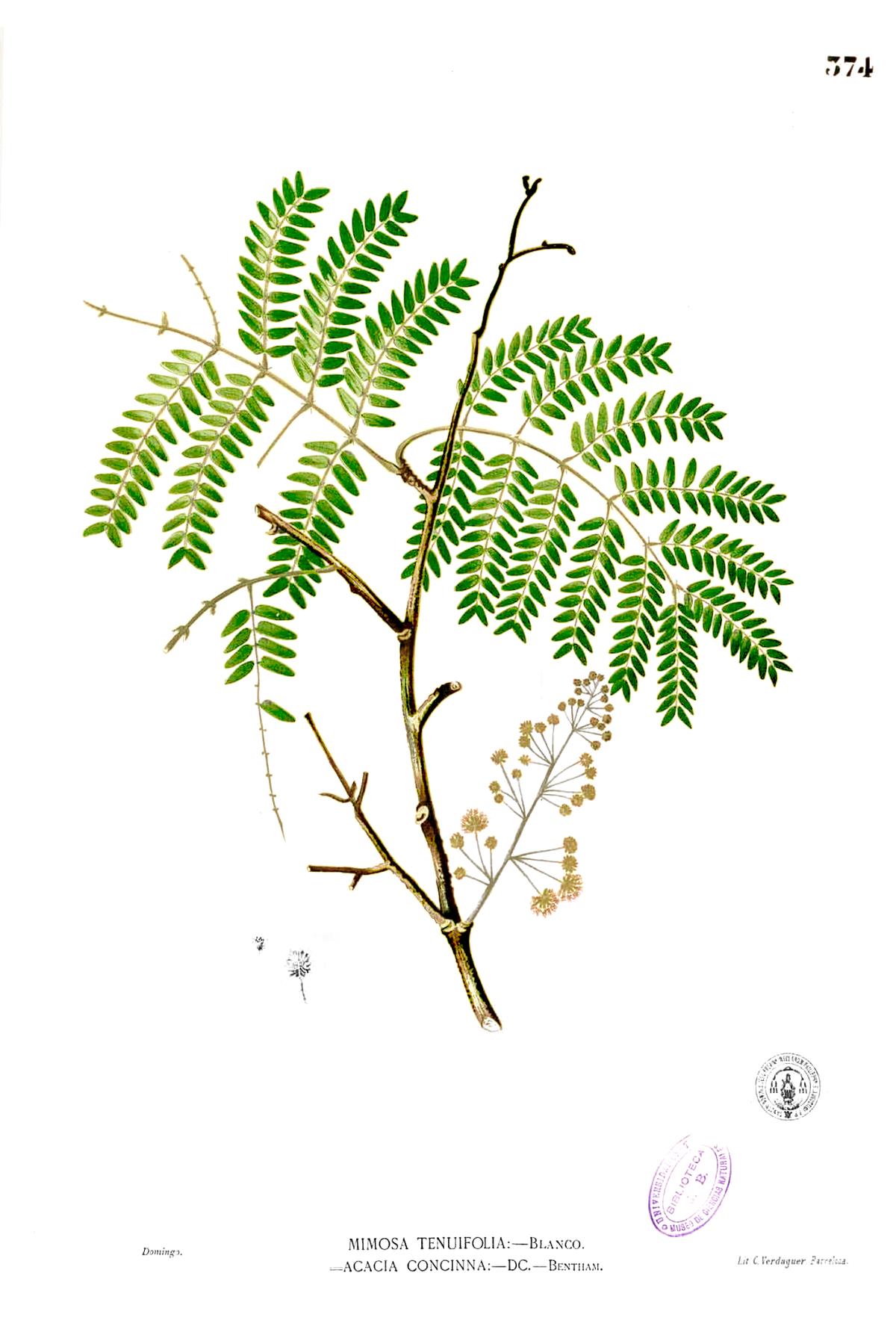 Indian Food Acacia Gordon