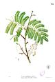Acacia concinna Blanco2.374.png