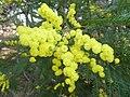 Acacia dealbata, blomme, Waterberg.jpg