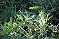 Acacia glaucoptera - Leaning Pine Arboretum - DSC05452.JPG