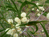 Acacia implexa flowers 1.jpg