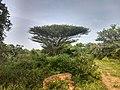 Acacia planifrons from Satyamangalam Tiger Reserve IMG 20181113 083444948 HDR.jpg