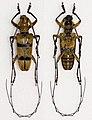 Acalolepta bifasciata (16429964705).jpg