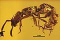 Acanthostichus hispaniolicus SMNSDO5205-1 02.jpg